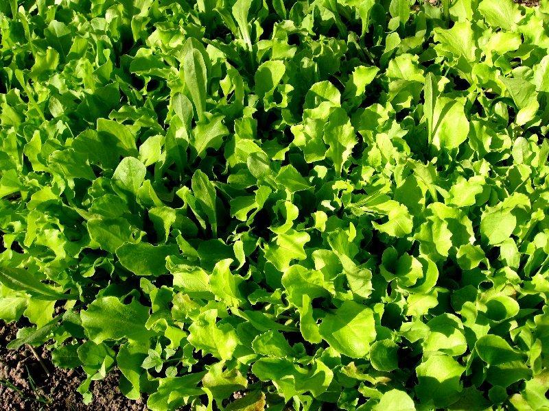 Il seminatore coltivare l 39 orto seminare trapiantare e - Semina pomodori luna ...