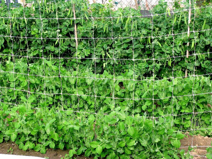 Curare l 39 orto for Trapianto pomodori